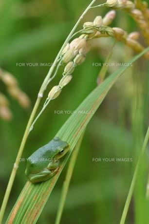 稲穂とカエルの写真素材 [FYI00170122]