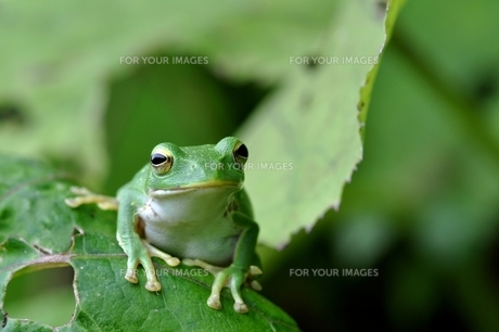カエルの写真素材 [FYI00170125]