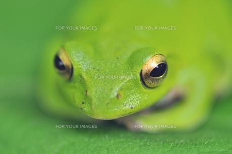 カエルの写真素材 [FYI00170133]