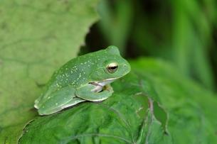 カエルの写真素材 [FYI00170134]