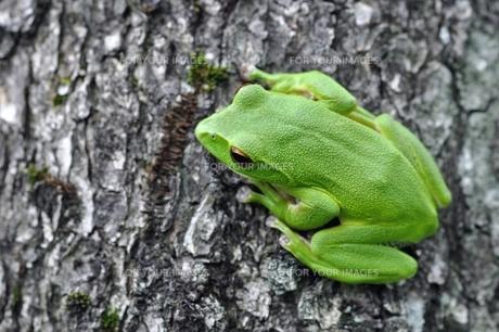 カエルの写真素材 [FYI00170137]