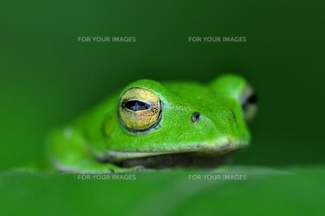 カエルの写真素材 [FYI00170138]