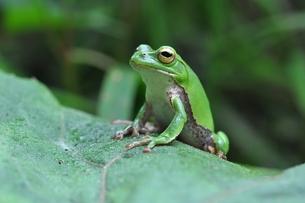 カエルの写真素材 [FYI00170140]