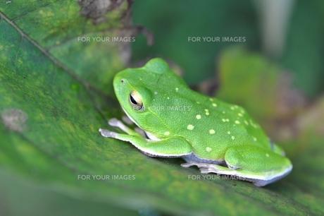 綺麗な模様のカエルの写真素材 [FYI00170168]