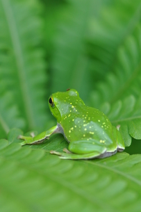 綺麗な模様のカエルの写真素材 [FYI00170208]