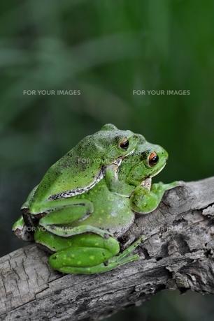モリアオガエルのカップルの写真素材 [FYI00170211]
