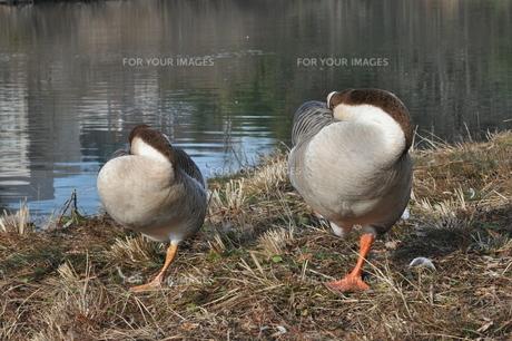 片足立ちで寝るガチョウのカップルの写真素材 [FYI00170212]