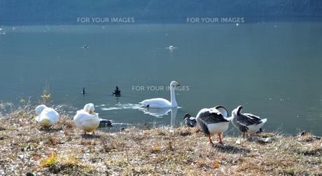 アヒル、ガチョウ、白鳥たちのくつろぎの時間の写真素材 [FYI00170273]
