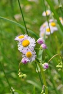 春紫苑の写真素材 [FYI00170296]