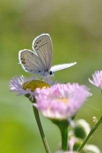 春紫苑とツバメシジミの写真素材 [FYI00170313]