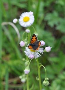 春紫苑とベニシジミの写真素材 [FYI00170315]