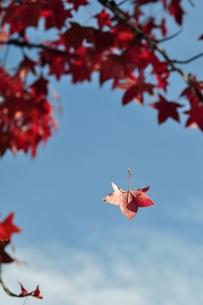アメリカフウの紅葉の写真素材 [FYI00170328]