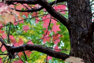アメリカフウの紅葉の写真素材 [FYI00170351]