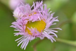 春紫苑の写真素材 [FYI00170396]