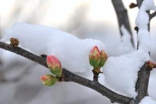 雪の日の木瓜の蕾の素材 [FYI00170437]