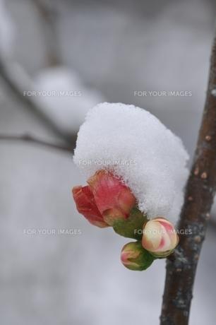雪の日の木瓜の花の素材 [FYI00170446]
