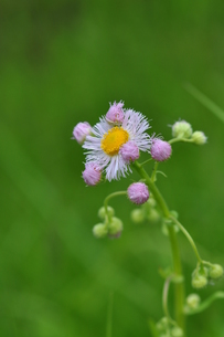 春紫苑の写真素材 [FYI00170458]