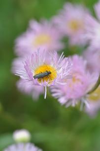 春紫苑の写真素材 [FYI00170504]