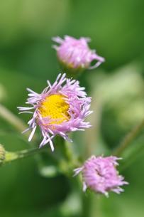 春紫苑の写真素材 [FYI00170506]