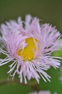 春紫苑の写真素材 [FYI00170507]