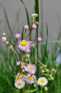 春紫苑の写真素材 [FYI00170514]