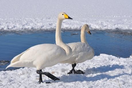 雪の上を歩く白鳥のカップルの素材 [FYI00170536]