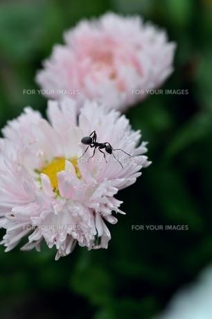蟻の写真素材 [FYI00170539]