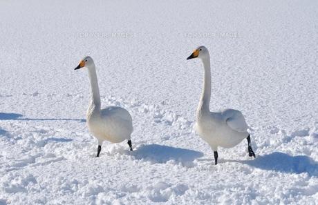 雪上を歩く白鳥のカップルの素材 [FYI00170544]