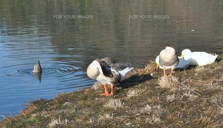水辺でくつろぐ水鳥たちの写真素材 [FYI00170613]
