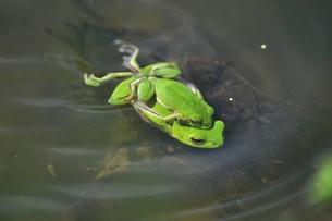 蛙の恋の季節の写真素材 [FYI00170733]