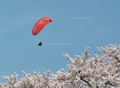 桜とバラグライダーの写真素材 [FYI00170750]