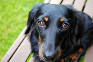 おねだり目線のイヌの写真素材 [FYI00171058]