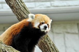 北海道のレッサーパンダの写真素材 [FYI00171081]