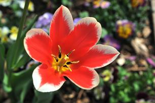 赤い花の写真素材 [FYI00171084]