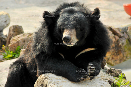 見つめるクマの素材 [FYI00171098]