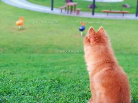 黄昏犬の写真素材 [FYI00171151]