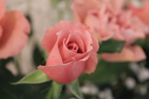 ピンクのバラの写真素材 [FYI00171176]