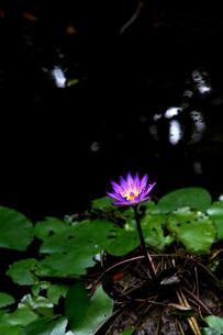 水辺に浮かぶ一輪の花の写真素材 [FYI00171180]