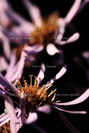 枯れ行く花の写真素材 [FYI00171191]
