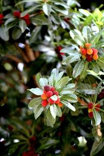 赤い木の実の素材 [FYI00171261]