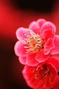 梅の写真素材 [FYI00171274]
