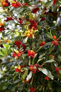 赤い木の実の素材 [FYI00171278]