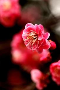 梅の写真素材 [FYI00171295]