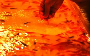 金魚すくいの写真素材 [FYI00171314]