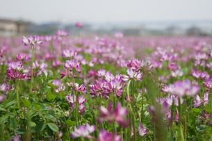 レンゲの花の写真素材 [FYI00171334]
