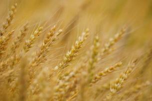麦の写真素材 [FYI00171359]