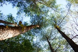 松の木の写真素材 [FYI00171399]