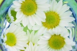 小菊の花びらの写真素材 [FYI00171409]