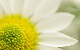 小菊の花びらの写真素材 [FYI00171411]