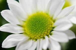小菊の花びらの写真素材 [FYI00171419]